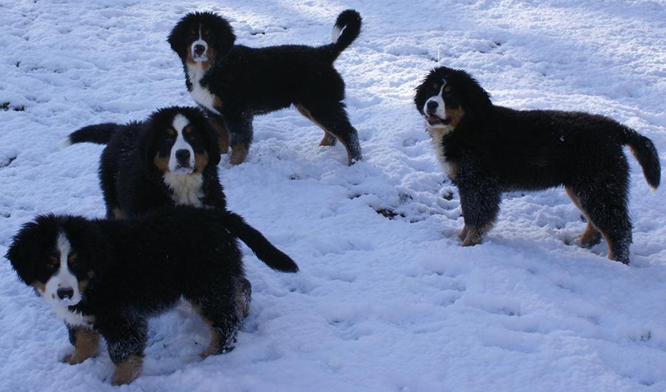 Bernese Mountain Dog Puppy Northern Ca